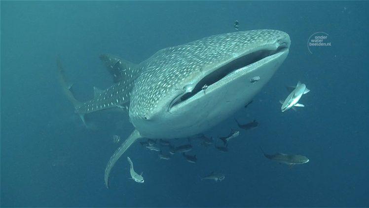 Walvishaaien; ontmoeting onderwater